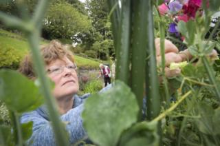 Durham volunteer picks sweet peas in Wharton Park community garden